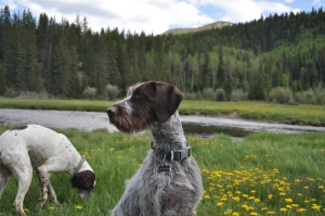Ava, the german wirehair pointer, on the look out for flying objects