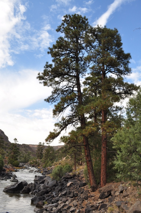Ponderosa Pines near the edge of the Rio Grande enjoying some sun