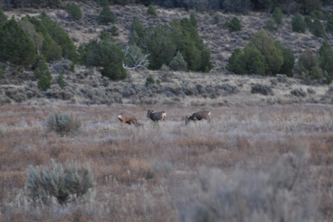 The Mule Deer of Unit 5B. The buck on the left hand side is the giant 4x4 that we spotted. I guess I was a little too excited to wait patiently to get a good photograph of it.